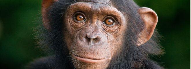 Schimpanse WWF