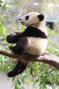 Panda-Bär auf Ast