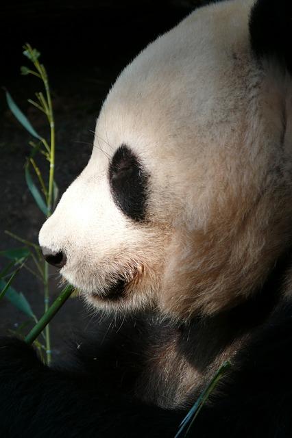 Panda-Bär im Zoo