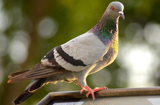 Taube Pigeon Update