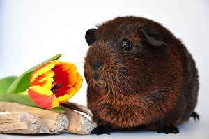 Meerschweinchen mit Blume