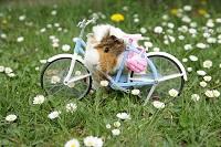 Meerschweinchen mit Fahrrad