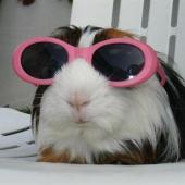 meerschweinchen mit sonnenbrille