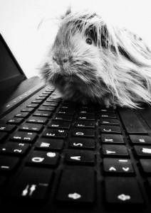 meerschweinchen an tastatur