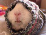 meerschweinchen-im-winter